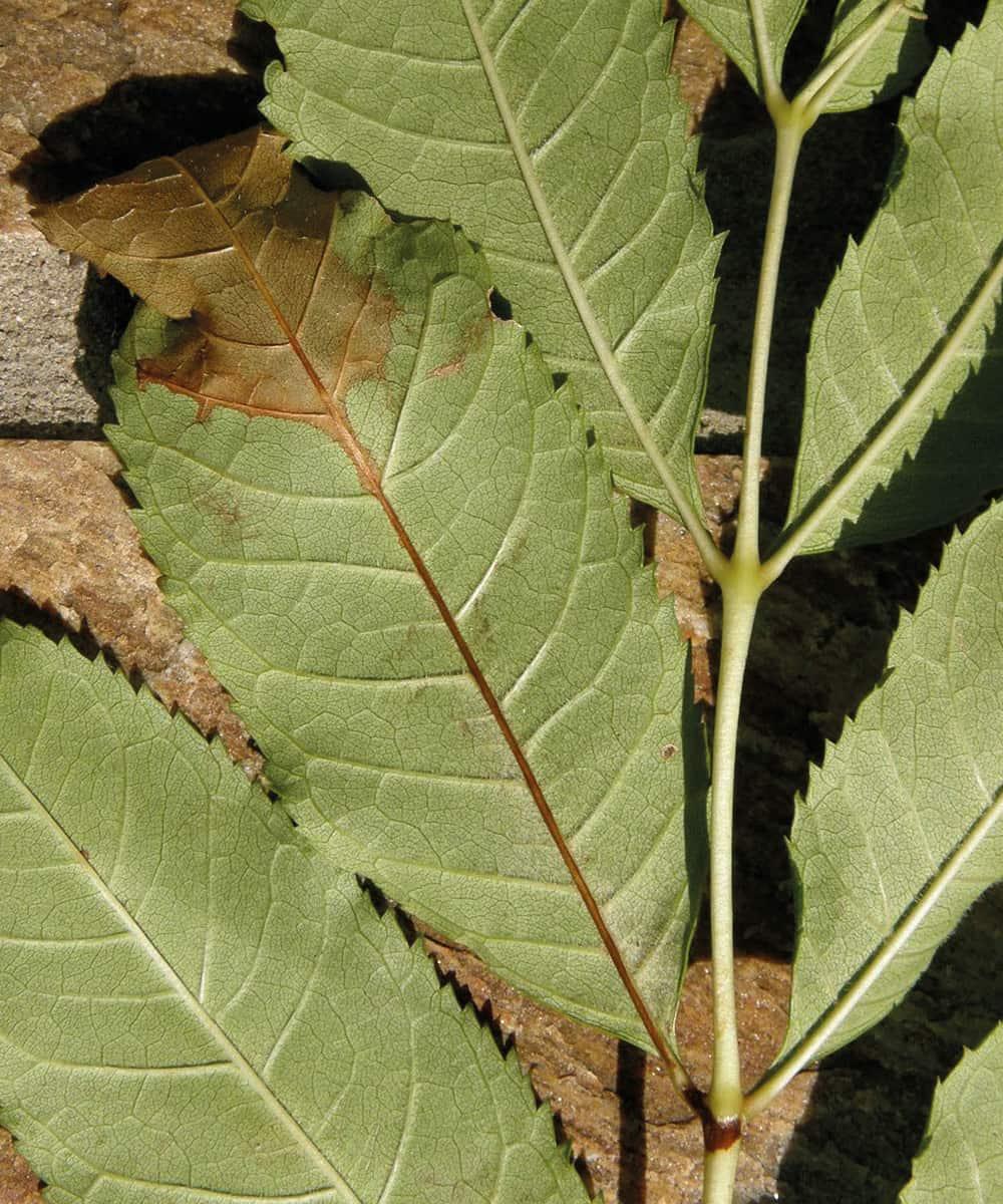 Ash dieback – leaf symptoms. ©Forestry Commission