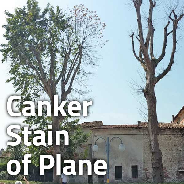 Canker Stain of Plane
