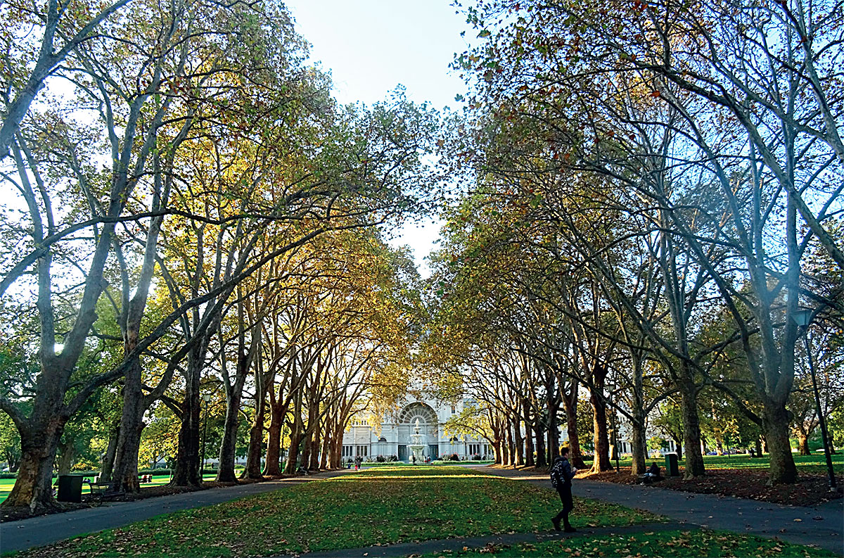 Avenue of London plane planted in Carlton Gardens, Melbourne, in the late 1800s