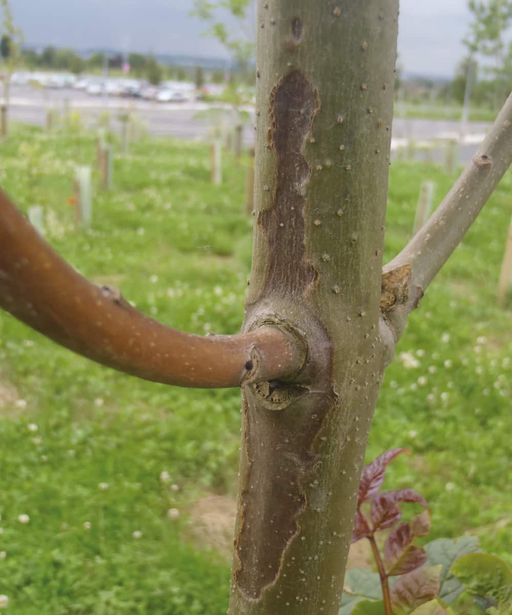 Ash dieback – lesion on 4 year old ash. ©Forestry Commission
