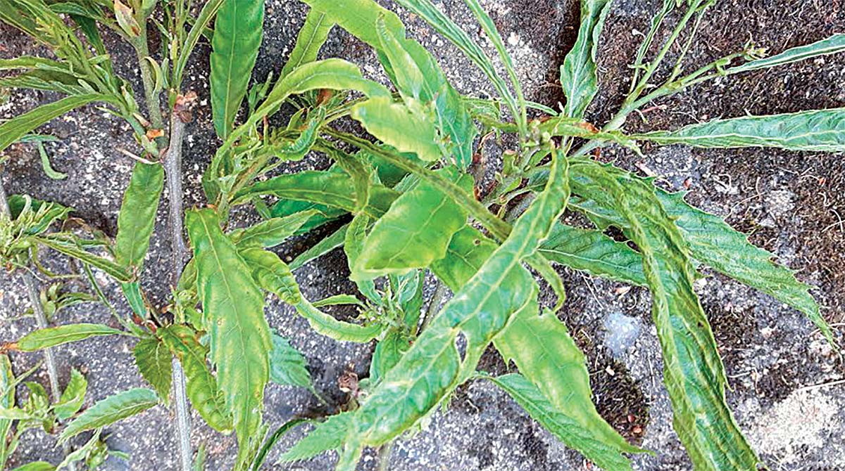 Stunted, 'variegated' sweet chestnut leaves.