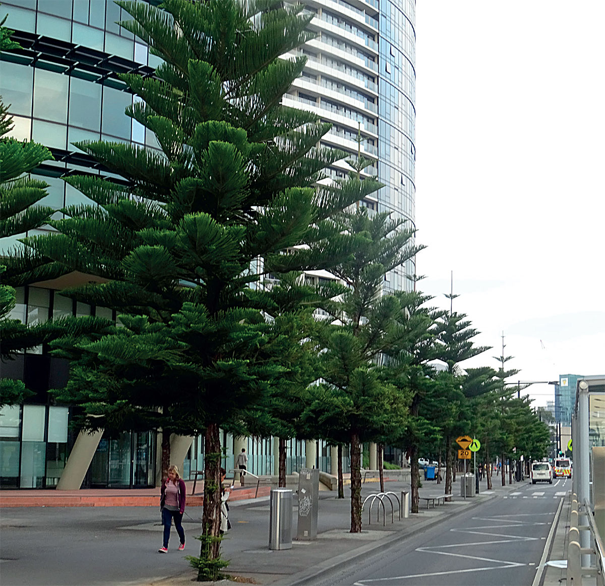 An avenue planting of Norfolk Island pine in the docklands area of Melbourne, one of the least tree covered areas of the city