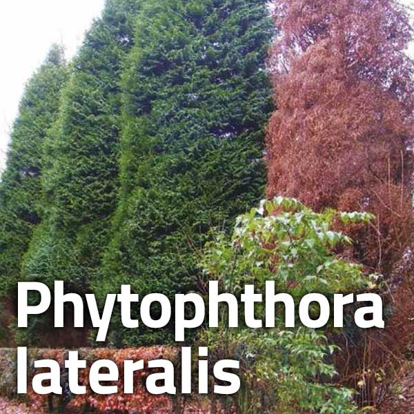 Phytophthora lateralis