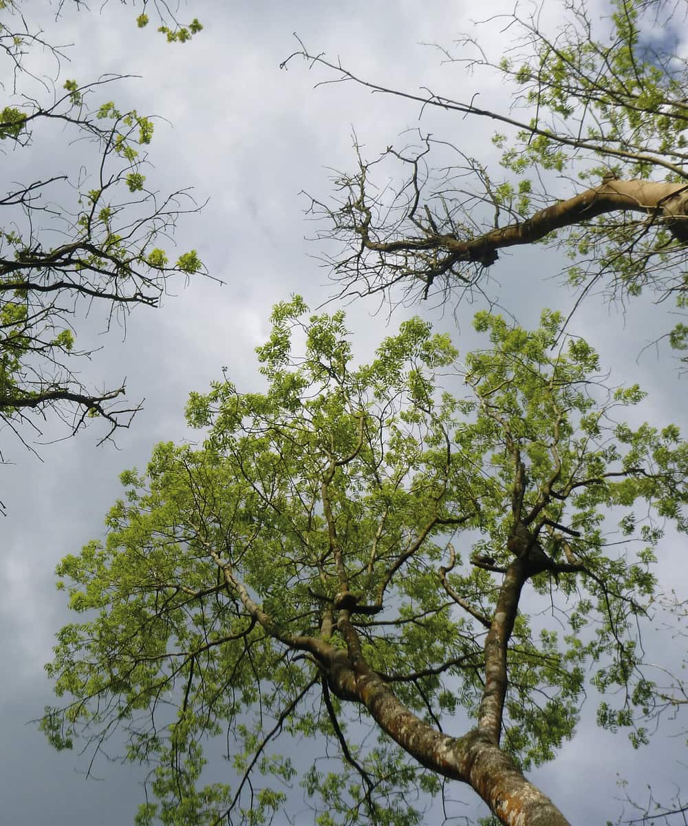 Ash dieback – infected canopy. ©Forestry Commission
