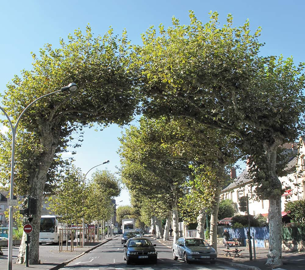 Sculpted Platanus hispanica, Brive, France. Diversity in size, shape and form.