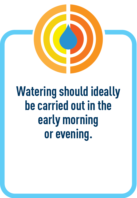 Watering should ideally be carried out in the early morning or evening.