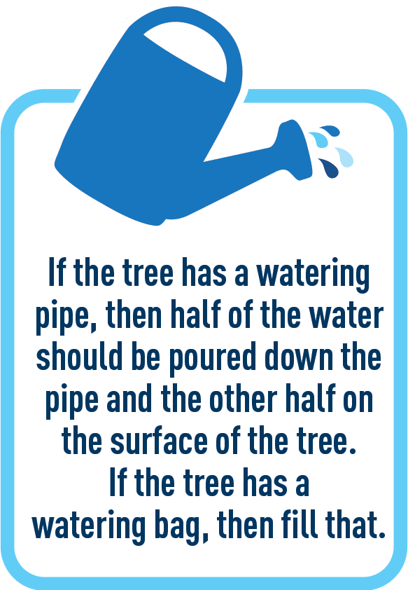 If the tree has a watering pipe, then half of the water should be poured down the pipe and the other half on the surface of the tree. If the tree has a watering bag, then fill that.