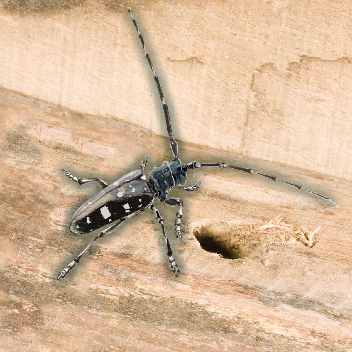 Asian Longhorn Beetle – Anoplophora glabripennis