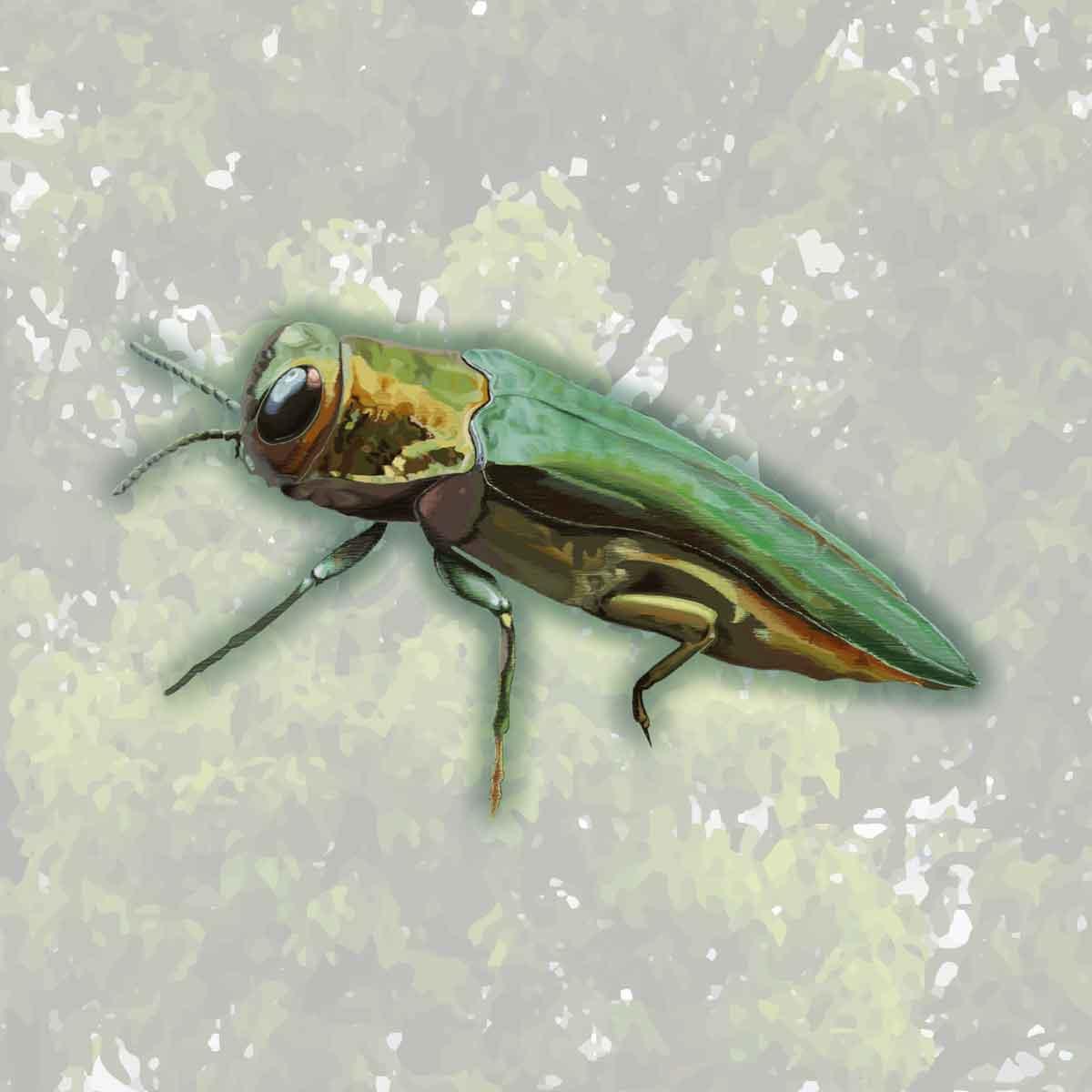 Emerald Ash Borer – Agrilus planipennis