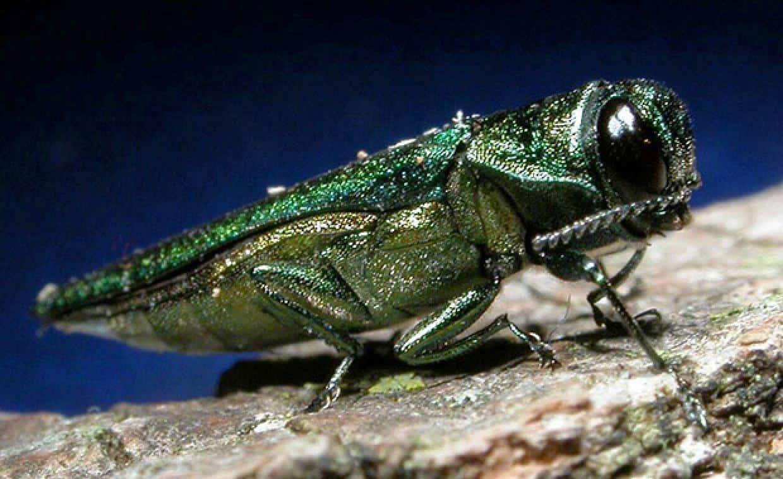 Figure 1: Adult emerald ash borer. Source: https://www.daera-ni.gov.uk/articles/emerald-ash-boreragrilus-planipennis.