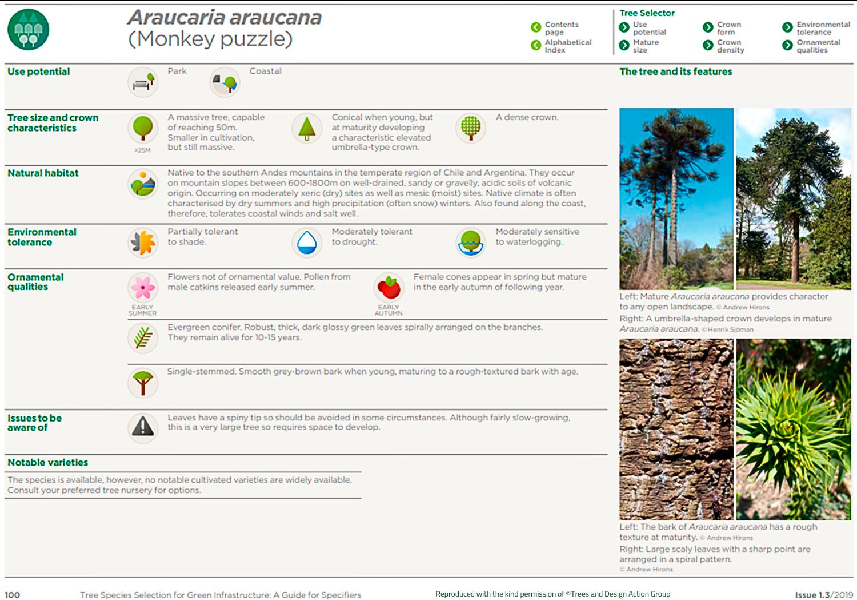 Monkey puzzle (Araucaria araucana)
