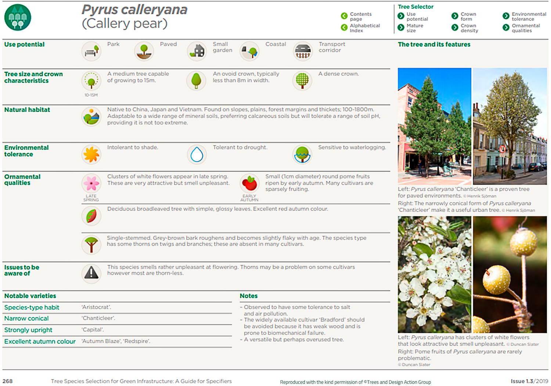 Callery pear (Pyrus calleryana)