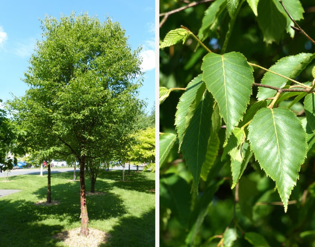 Betula utilis subsp. albosinensis (Chinese red-bark birch)
