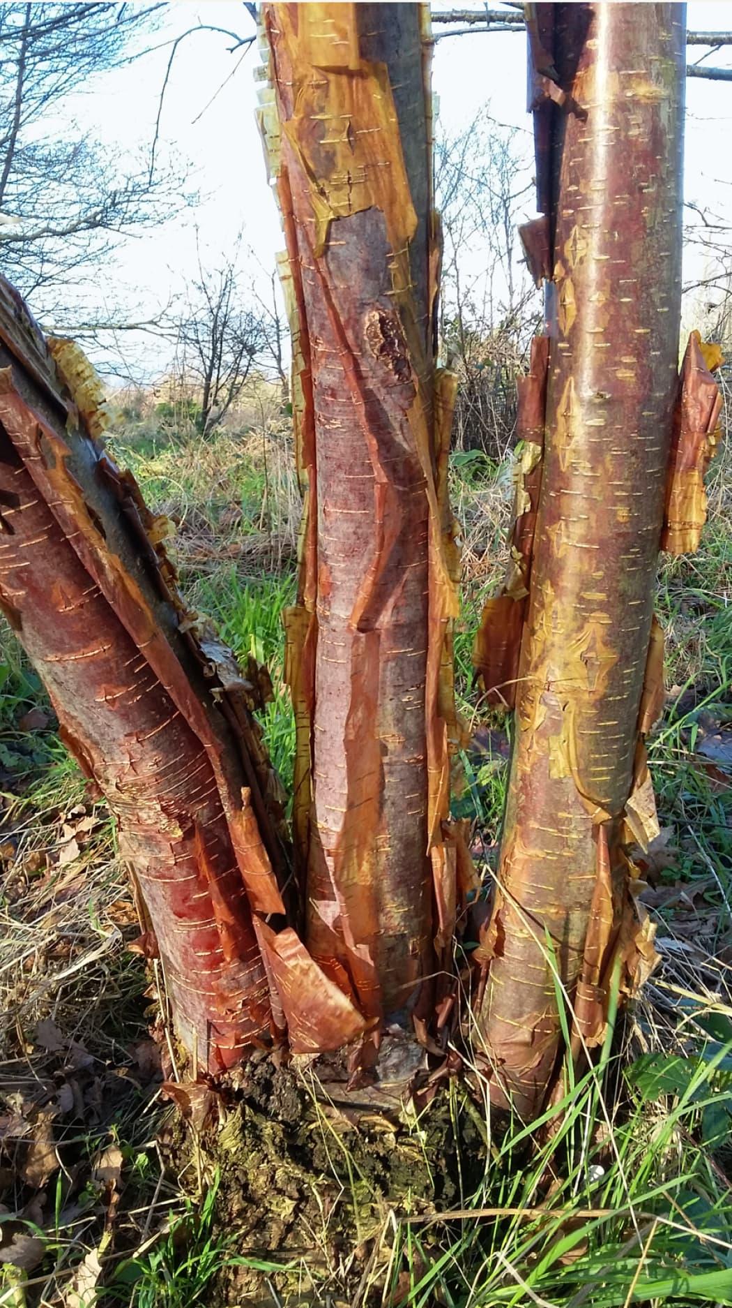 Betula utilis subsp. utilis (Himalayan birch)