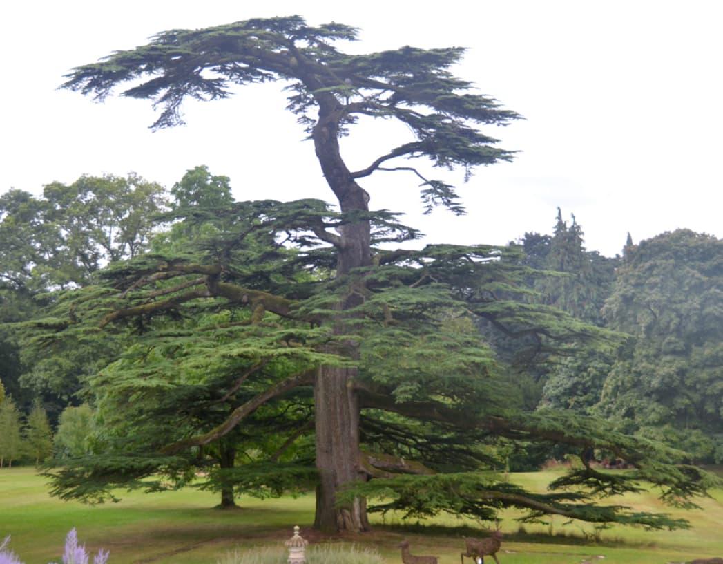 Cedrus libani (Cedar of Lebanon)