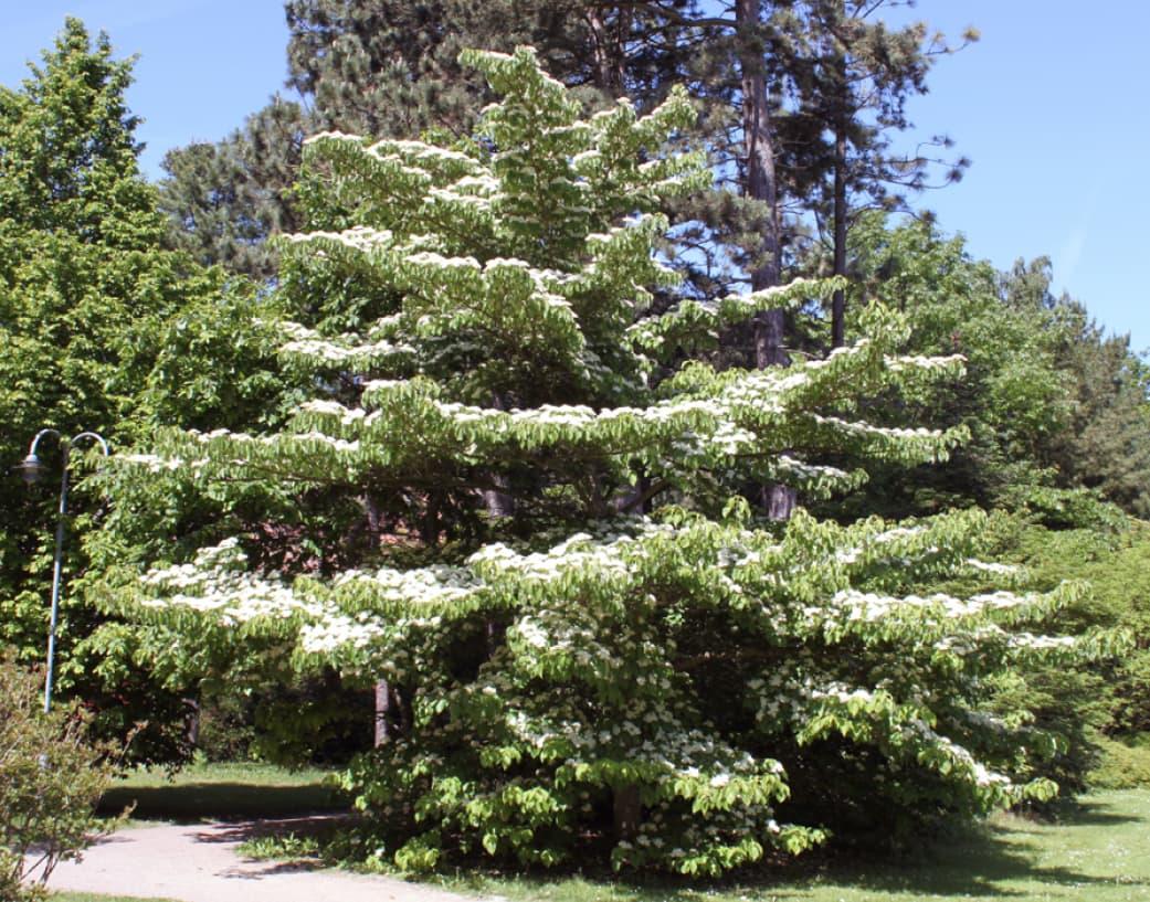 Cornus controversa (Wedding cake tree)