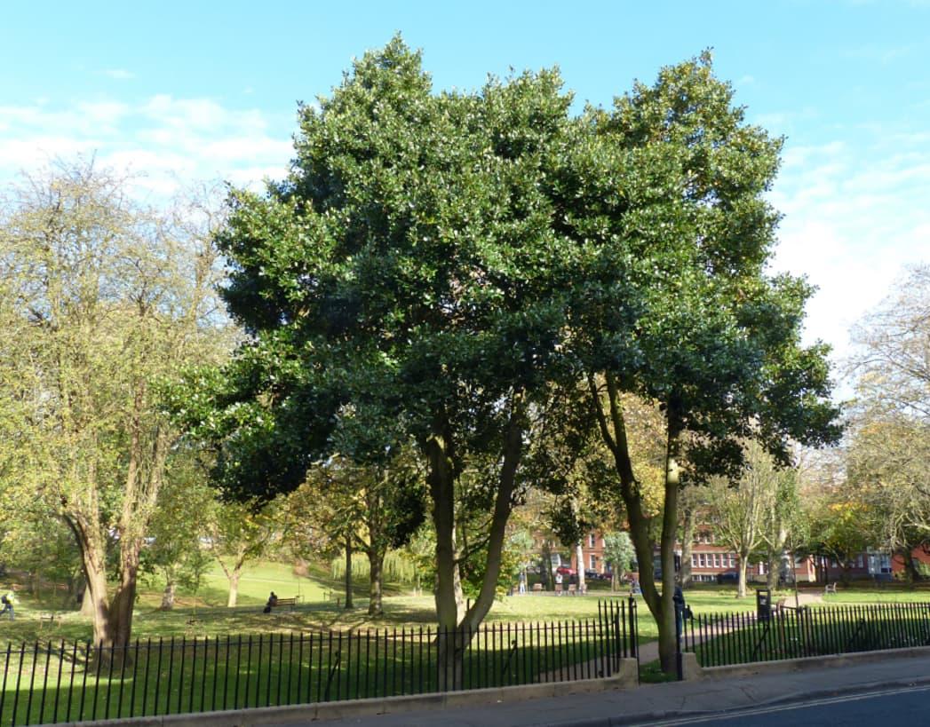 Ilex aquifolium (Holly)