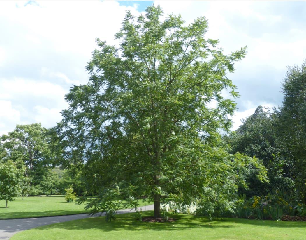 Fraxinus excelsior (Black walnut)