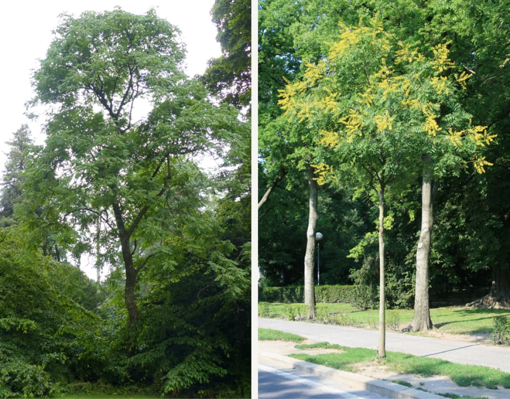 Koelreuteria paniculata (Golden rain tree)