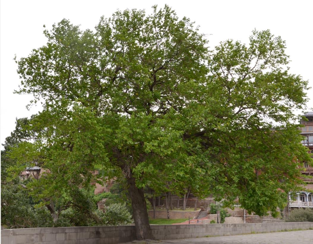 Morus nigra (Black mulberry)