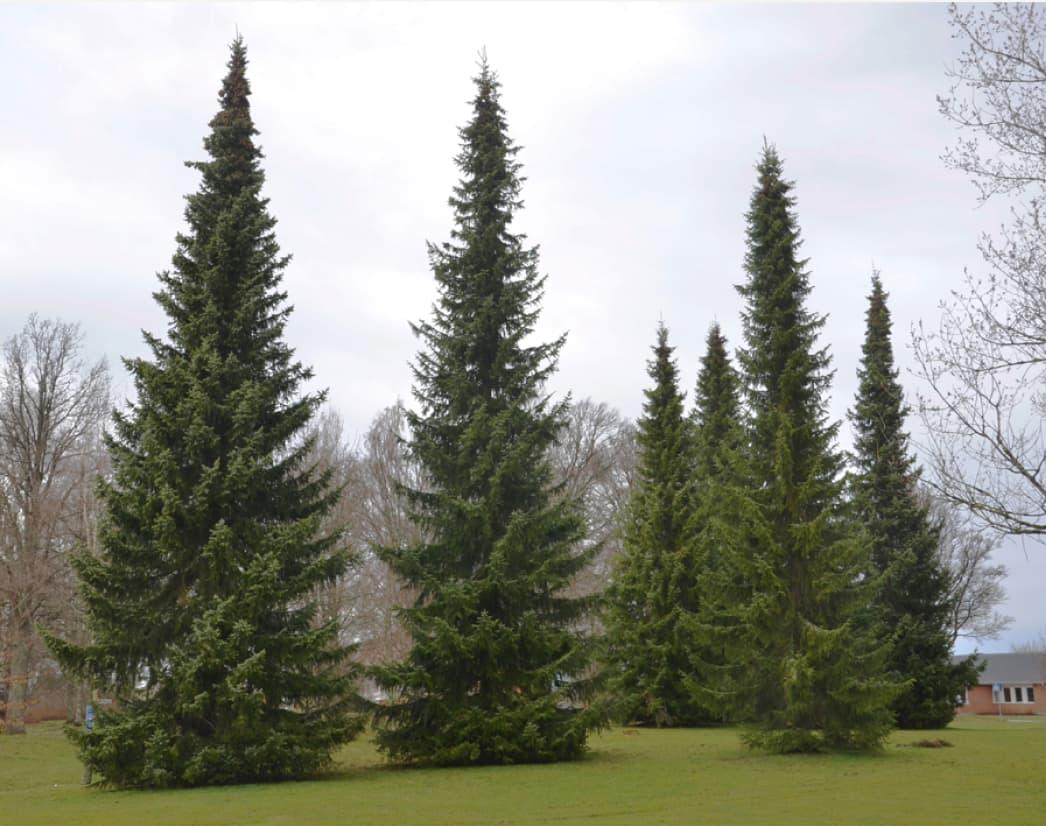 Picea omorika (Serbian spruce)