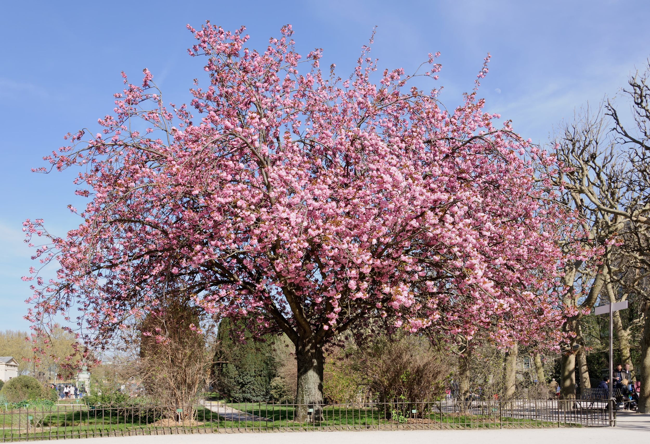 Prunus Kanzan (Kanzan cherry)
