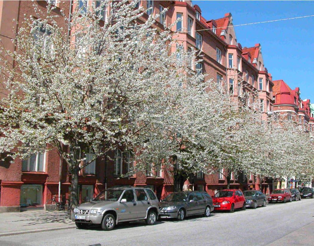 Prunus avium (Wild cherry)