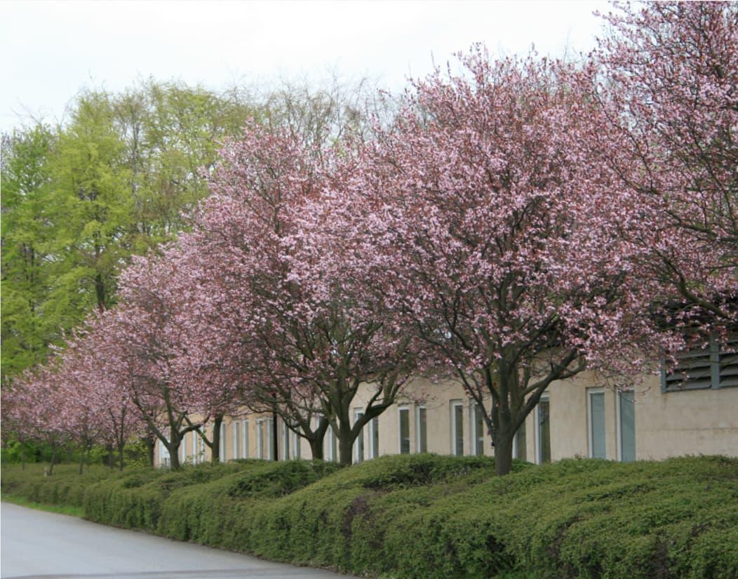 Prunus cerasifera Nigra (Purple-leafed plum)