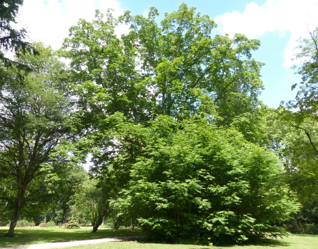 Pterocarya fraxinifolia (Caucasian wing nut)