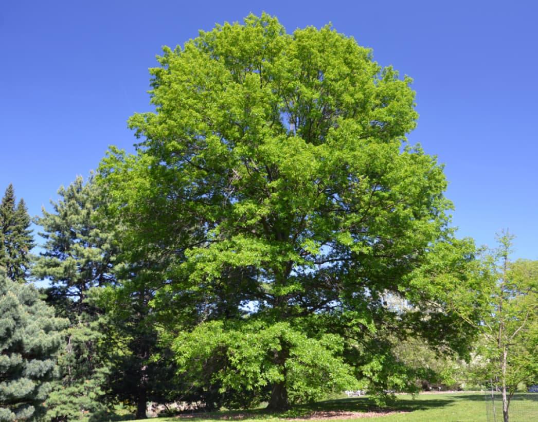Quercus coccinea (Scarlet oak)