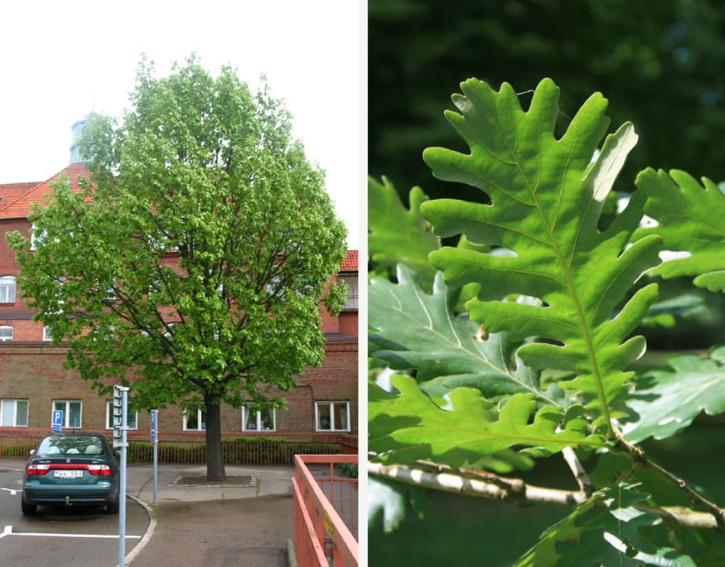 Quercus frainetto (Hungarian oak)