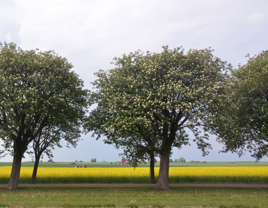 Sorbus intermedia (Swedish whitebeam)