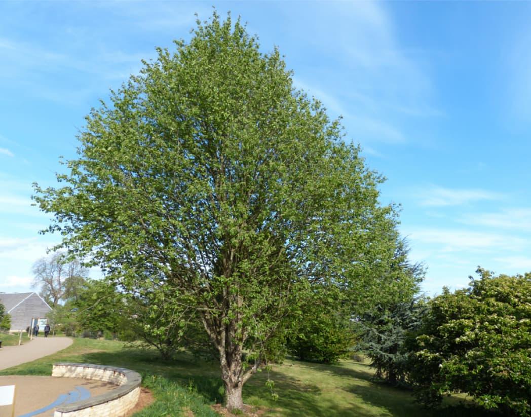 Sorbus torminalis (Wild service tree)