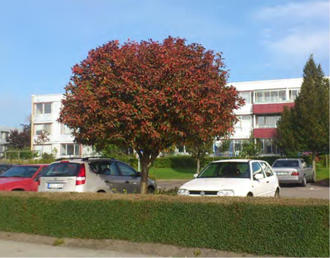 Sorbus x thuringiaca (Bastard service tree)