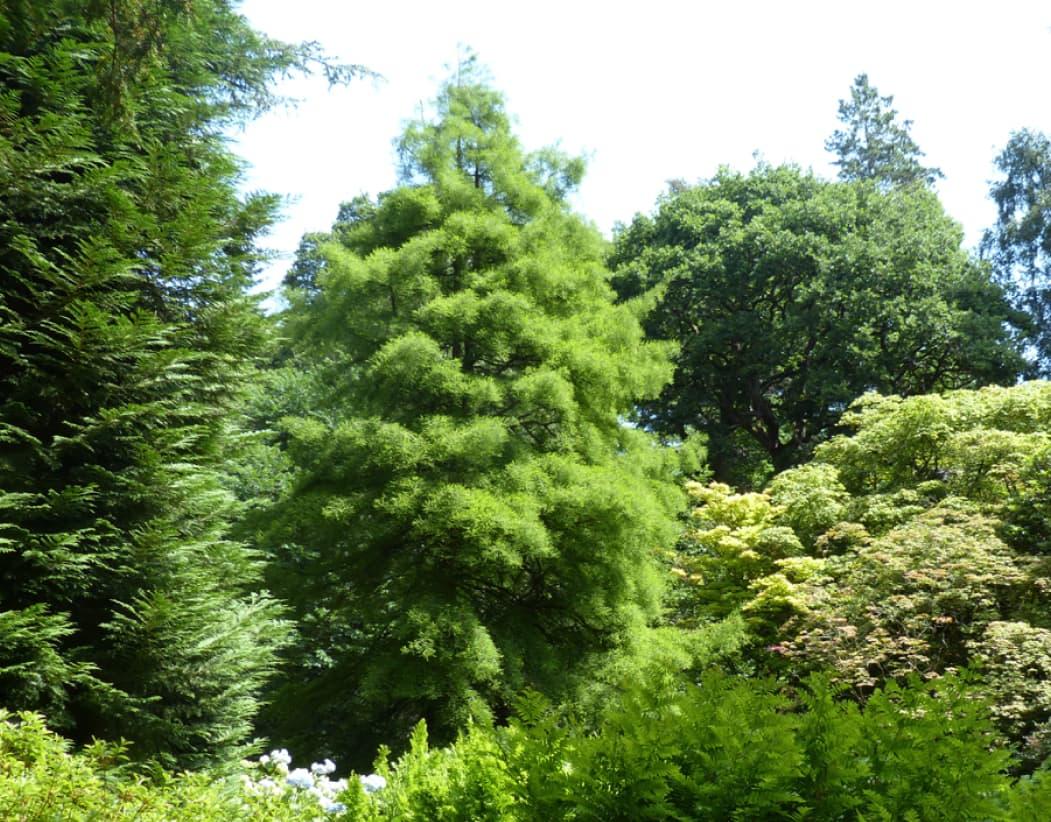 Taxodium distichum (Swamp cypress)