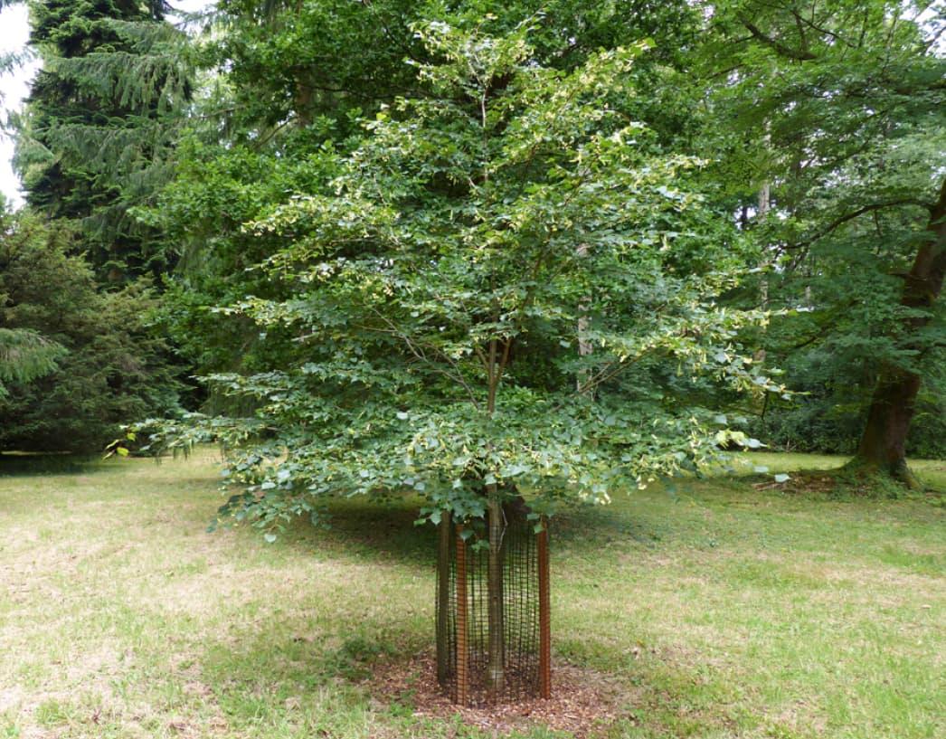 Tilia cordata (Small-leafed lime)