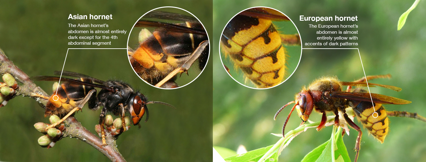 A comparison of the Asian Hornet and European Hornet