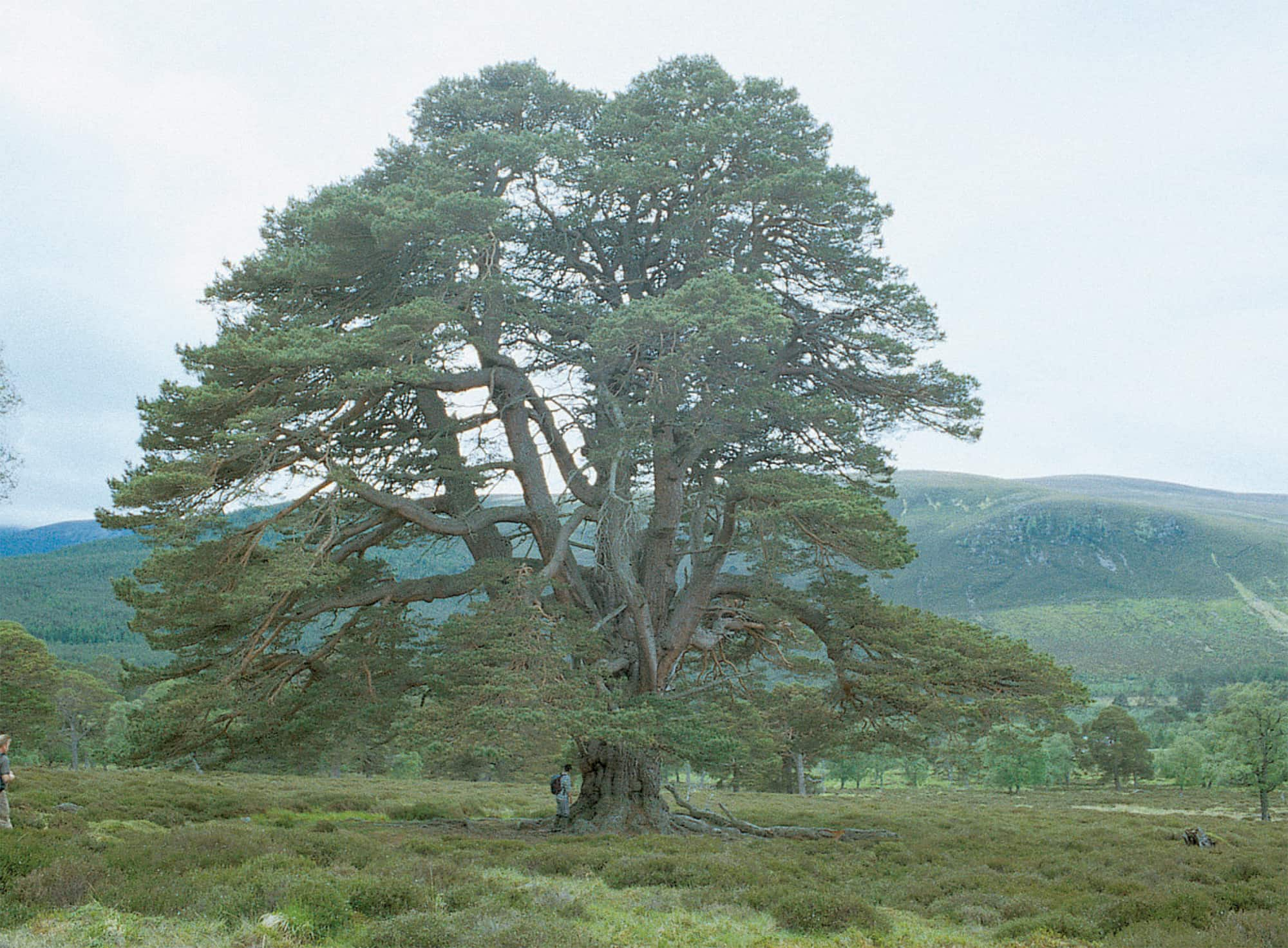 Ancient open-grown Scots pine at Mar Lodge