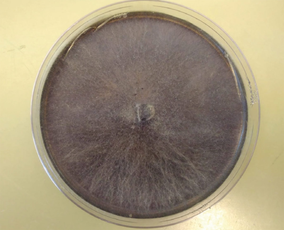 Fungal isolate grown on artificial growth medium isolated from oak canopy deadwood.