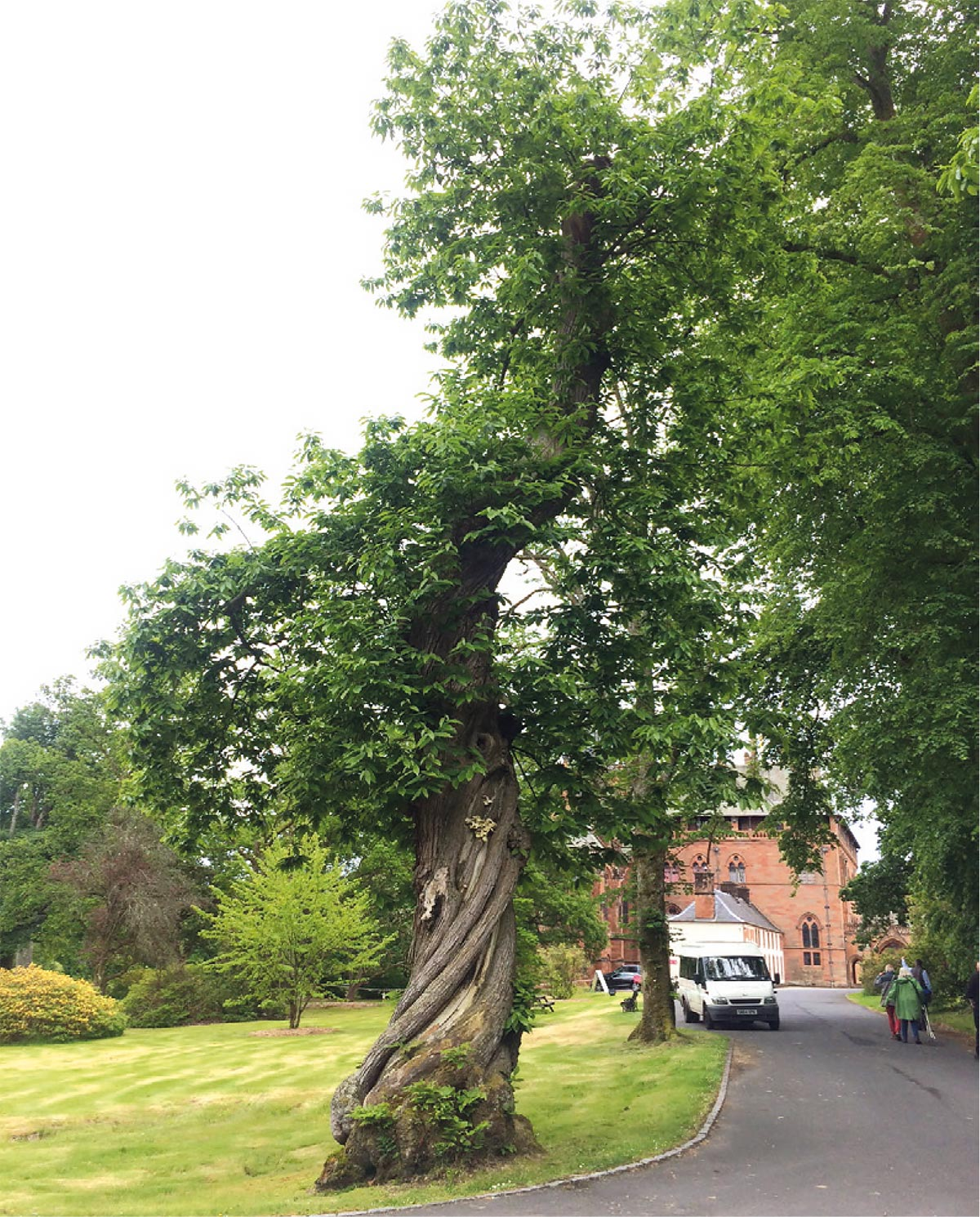 A Spanish sweet chestnut planted in 1717.