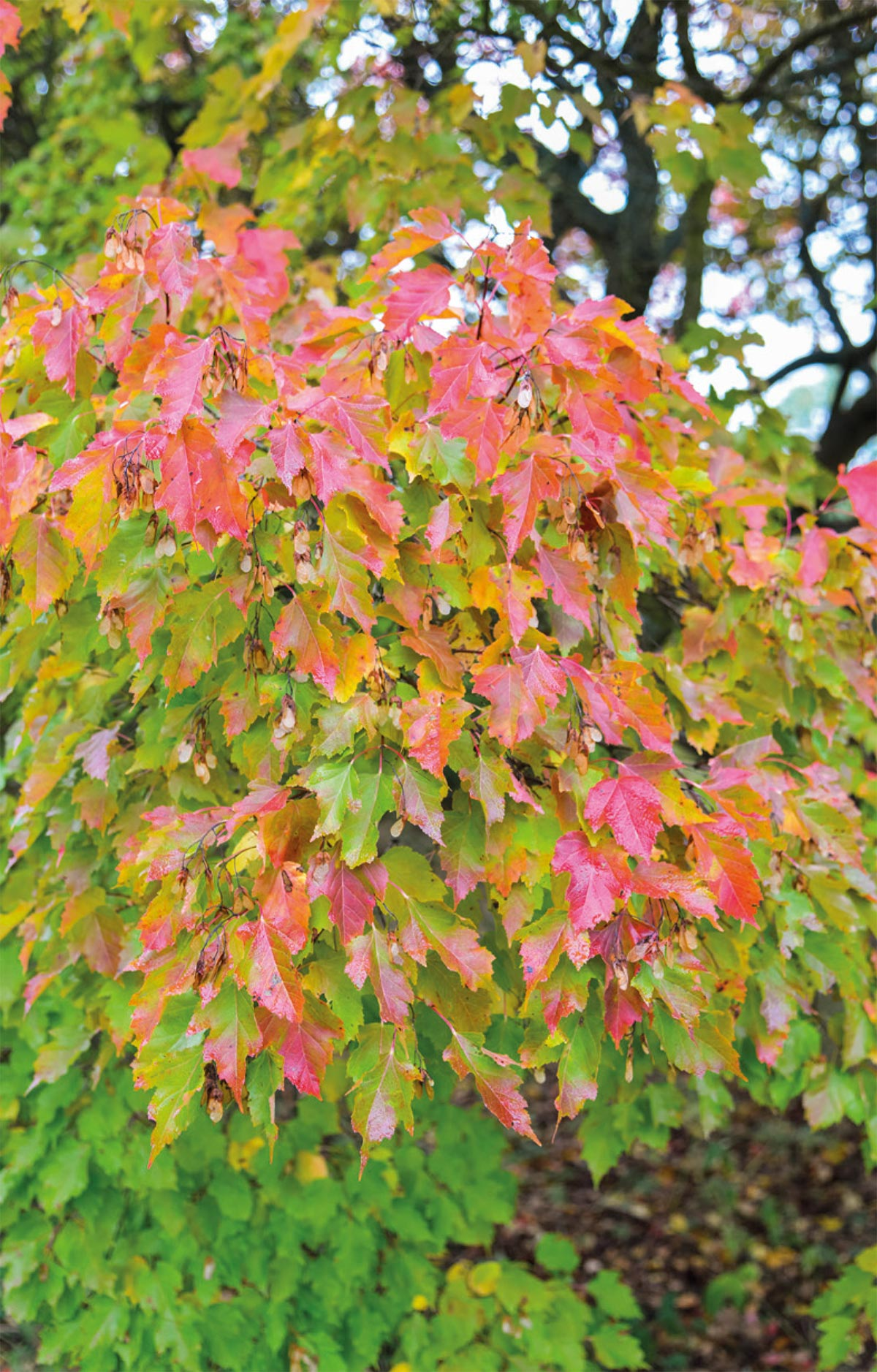 Autumn colours on Tatarian maple.
