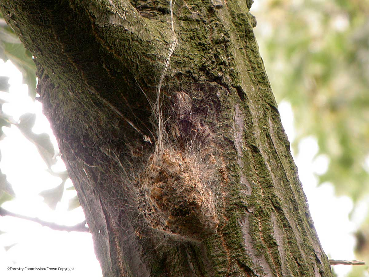 OPM nest after becoming discoloured with time. They are white when new. ©Ralph Parks/Forestry Commission.